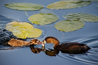 Adult Pied-billed Grebe feeding a fish to its young (c) John Ashley