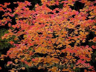 Rocky Mountain maple tree in fall (c) John Ashley