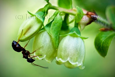 Wild Montana huckleberry flowers with ant (c) John Ashley