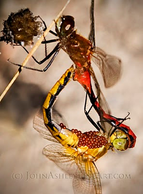 mating dragonflies (c) John Ashley