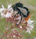 да запазим пчелите
