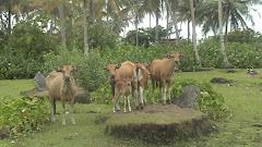 Peternakan sapi di Pagatan Besar