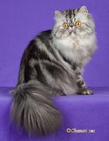 foto kucing persia 3