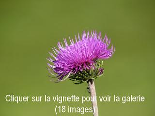 photos faune et fleurs montagne vercors marmotte