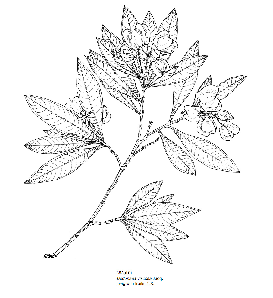 black and white drawing of Dodonaea viscosa in fruit
