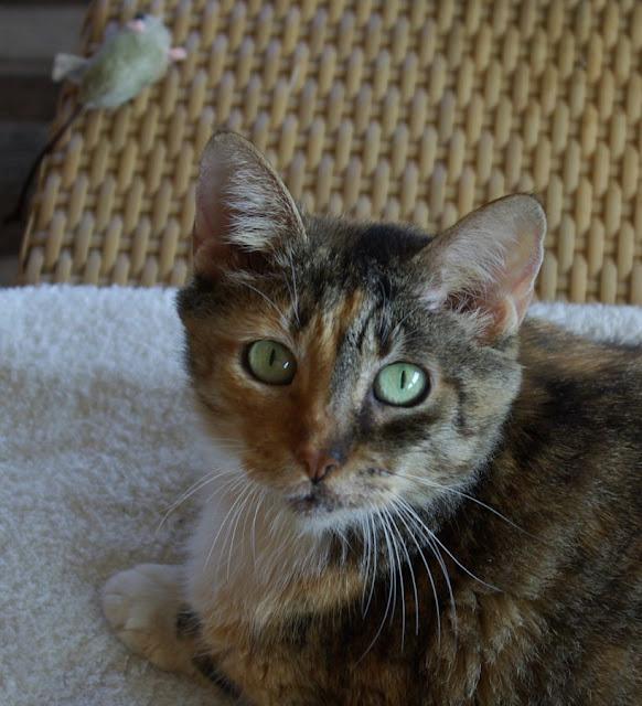 Domestic Cat; House Cat
