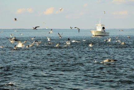 Florida fishing guides fishing reports saltwater boat for Choptank river fishing report