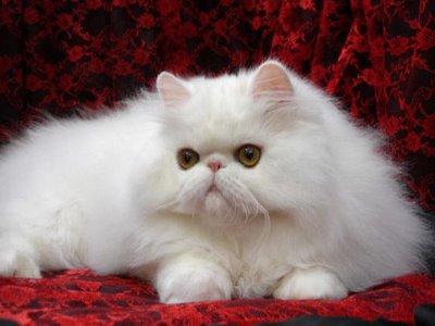 kucing putih lucu