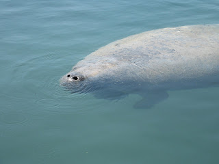 Click to see Manatee