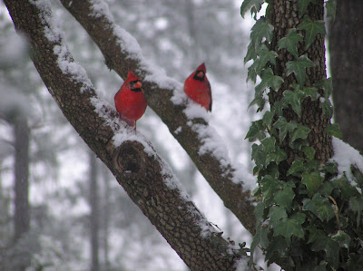 two Cardinals in snow