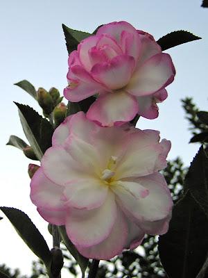 Camellia 'Leslie Ann'