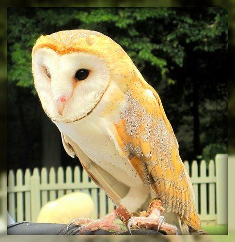 Owl at Busch Gardens