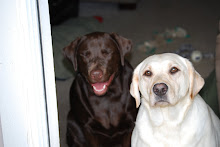 Our Labradors