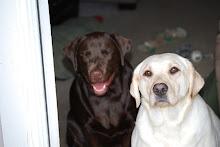 Our Labradors