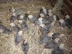 Dorking chicks
