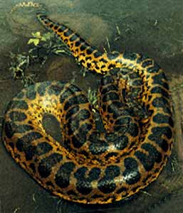 anacondas gigantes