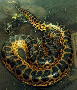 anacondas gigantes engraving
