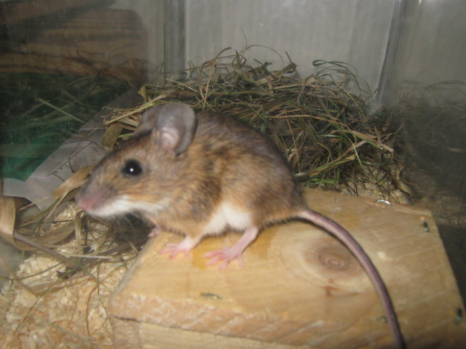 related image with vk 1st studio siberian mouse dark
