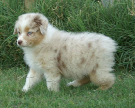 pics of australian shepherd puppies
