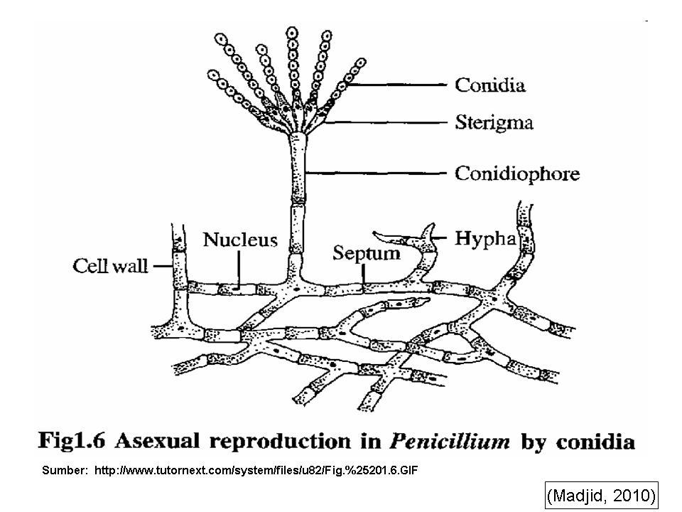 labelled diagram of penicillium - 28 images - cycle ...
