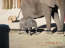 The baby Elephant!