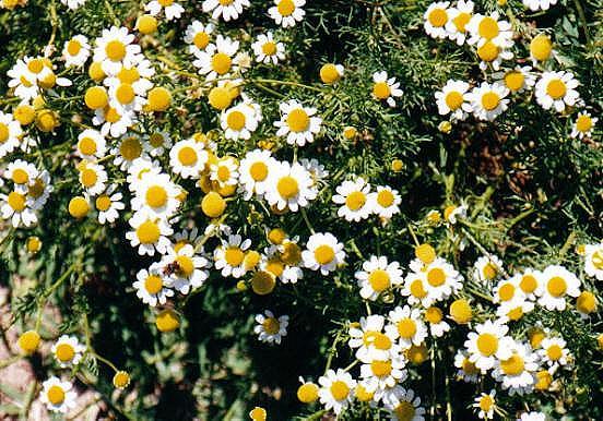 Baños Plantas Medicinales:proyecto integrado 1ºbachA: Las plantas medicinales más comunes