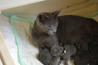 Russian Blue Cat Darisha With Kittens