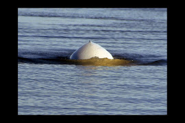 Beluga Whale, Churchill River estuary