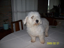 Bichon Frisee Macho Reproductor