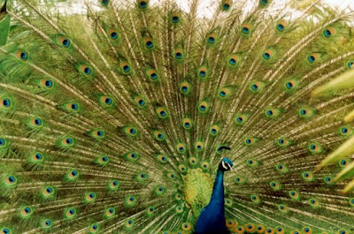 Monroe Peacocks Still at Large