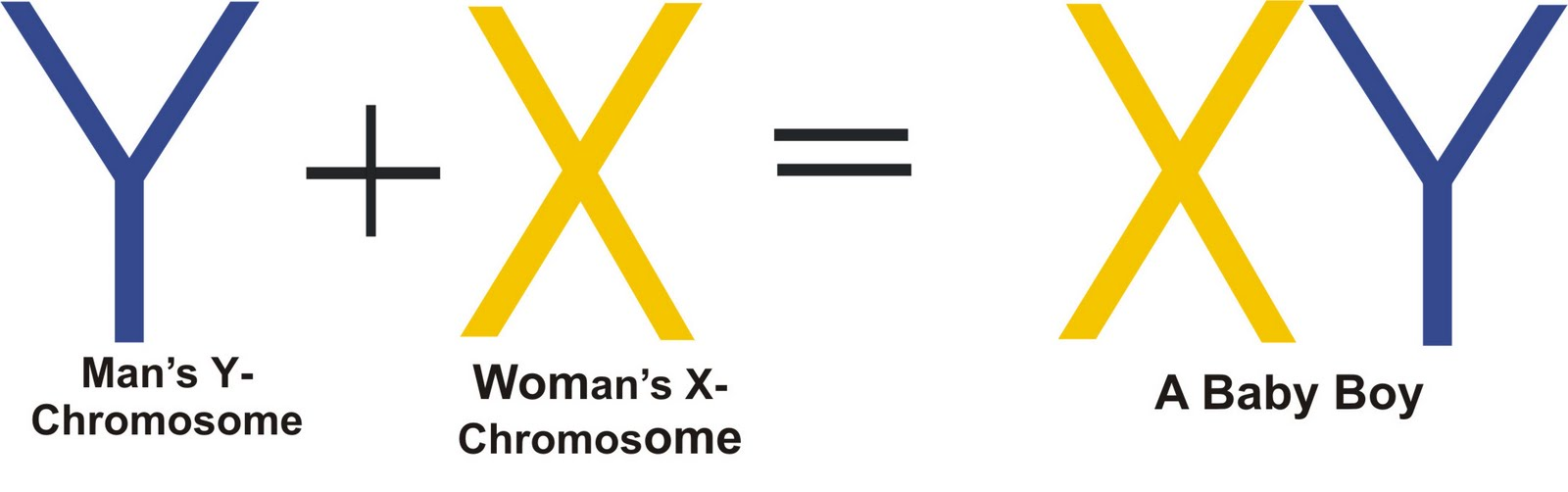 ... chromosome ... Y Chromosome Sperm