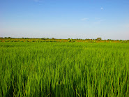Rice Fields of Bagré