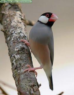 nama burung gelatik makanan biji bijian habitat sawah l