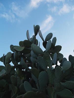 cactus,Zagwane, Zagwane, Tunisia, tunisie,