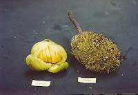 Buah makanan kesukaan anoa:  Dongi (Dillenia ochreata), Sukun Hutan (Artocarpus sp. )