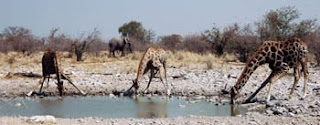 Jerapah Giraffes (Giraffa camelopardalis)