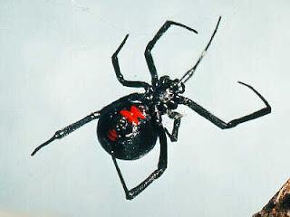 Black Widow Spider (Latrodectus mactans)