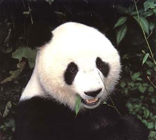Giant pandas (Ailuropoda melanoleuca)