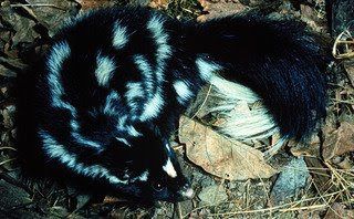 Eastern Spotted Skunk (Spilogale putorius)