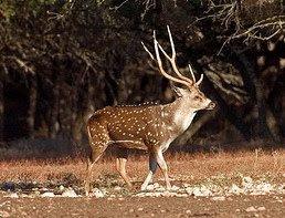 Axis Deer (Cervus axix)