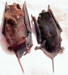 Big Free-Tailed Bat (Nyctinomops macrotis)