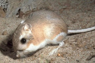 Banner-tailed Kangaroo Rat (Dipodomys spectabilis Merriam)
