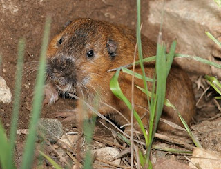 Botta's Pocket Gopher (Thomomys bottae)