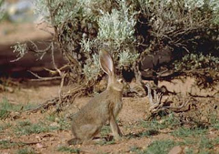 Black-tailed Jackrabbit (Lepus californicus Gray)