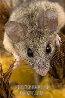 Cactus Mouse (Peromyscus eremicus)