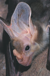 Ghost Bat (Macroderma gigas)
