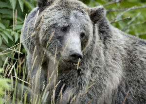 Grizzly or Brown Bear (Ursus arctos Linnaeus)