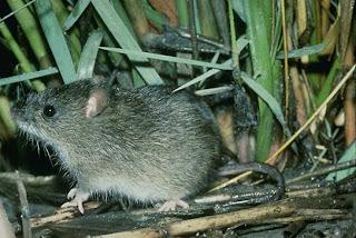 Marsh Rice Rat (Oryzomys palustris)
