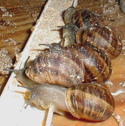 Benditos caracoles alimentaci n de los caracoles for Caracol de jardin alimentacion
