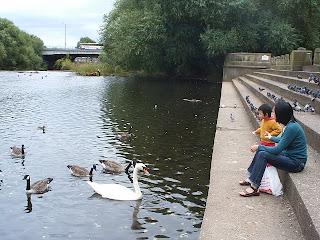 Feeding duck in River Derwent